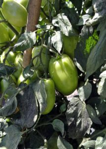 And when it comes to watering, soak the tomato beds once a week, or every five days at the height of summer. Water directly on the soil, not on the leaves.