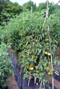 All the tomato plants are well-supported under bamboo teepee-like structures and laden with fruits.