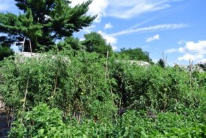 Now, the plants are as tall as the bamboo stakes, which are about eight to nine feet tall - so lush and green.