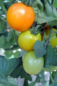 The key to maintaining a rich vegetable garden is to rotate the tomato bed between a few spots in the garden to diminish the risk of soil-borne diseases such as bacterial spot and early blight.