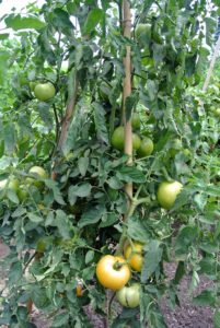 All tomatoes fall into one of two categories: indeterminate plants bear fruit continuously up until frost; determinate plants set one large crop and are finished once it ripens.