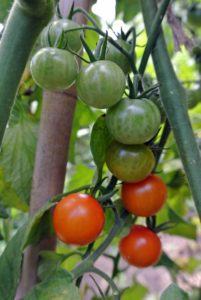 Worldwide tomato production is about 100 million tons. The top five tomato producers are China, the U.S., India, Turkey, and Italy.