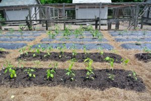 In June, the tomato plants on top of the black plastic, were still quite small. They were grown indoors from seed first.