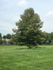 I planted this American sycamore tree, Platanus occidentalis, several years ago to replace an old sycamore that died. Sycamores are fast growing and make great shade trees in parks, and in other open areas.