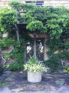 They are also fast-growing climbing vines that are capable of surviving slow temperature drops in winter.