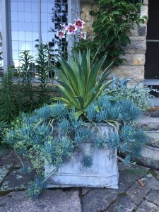 And look at it now - there has been so much growth this season. The planter is one of a pair, and was made sometime in the 18th to 19th century.
