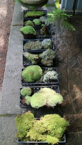 Kevin used all kinds of moss from the woodland - it is all carefully returned to the outdoors at the end of the season.