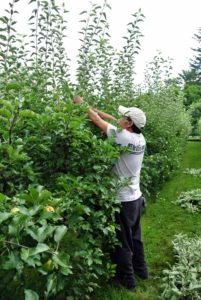Over at the dwarf apple espalier, Chhewang is busy pruning and removing all the sucker growth. By removing the sucker growth, energy is sent into the main apple producing branches. Quite a bit was pruned off - this will help sunlight reach the lower branches more easily.