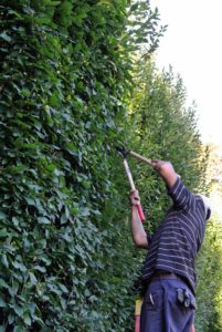 Hornbeams grow pretty quickly - about four to five feet per year, so it is important to trim and sculpt it regularly. Hornbeam is also very hardy and frost resistant, which is good in this area.