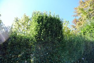 Most formal hedges should be trimmed a few times a year, especially while they are actively growing. Here, the new growth can be seen growing wildly.