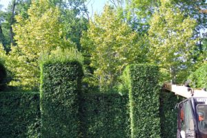 Here, one can see the difference between a trimmed hedge and a non-trimmed hedge.