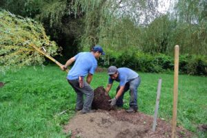 Once the plastic container was removed from the root ball, this tree was rolled carefully into the hole and fed a special fertilizer formulated for new plantings. This helps transplants establish faster by increasing root mass and shoot growth.