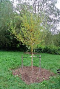 """""""Bare to the flare"""" is the general saying when planting trees - the top of the root flare should always be above ground."""