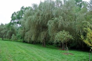 Weeping willows are upright, fast-growing, deciduous trees that can grow up to 80-feet tall. Because of their massive root systems, they need a fair amount of room to grow. These trees are all so happy in this location.