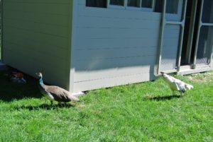Because the peahens have been raised here at the farm, they're all accustomed to the various noises – they are very curious animals. It did not take long before they approached the area to see what was happening.