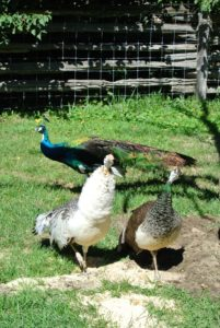 Full grown, peafowl can weigh up to 13-pounds, and peacocks with their majestic trains can reach body lengths of more than five feet. I'm so pleased my peafowl are healthy and happy at the farm.