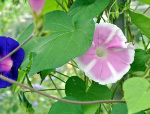 Morning glories, Ipomoea purpurea, come in a  variety of colors. The flowers bloom from early summer to the first frost. Their big, fragrant flowers attract butterflies and hummingbirds.