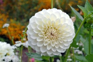 Dahlias belong to the Asteraceae family along with daisies and sunflowers. They are summer blooming tubers that are generally only hardy in USDA zones 7 through 11.