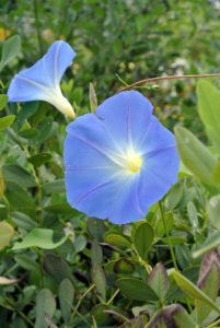 'Heavenly Blue' is the classic morning glory with the rich azure flower and white throat.