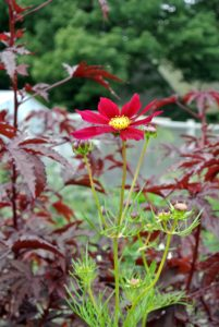 Cosmos are prized for their abundant, silky, daisylike flowers and their easy to care for care nature.