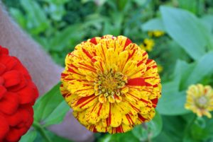 Zinnia flowers are one of the easiest plants to grow - and they grow quickly, and bloom heavily.