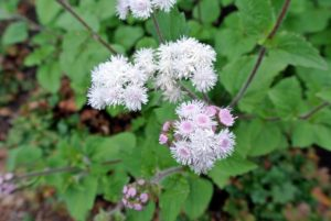 The ageratum flower blooms from spring until fall and is so beautiful when grown in clumps in the garden.