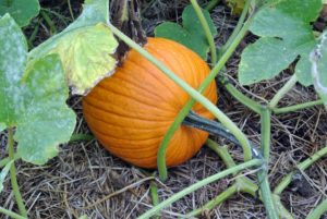 The name pumpkin comes from the Greek word 'pepon' which means large melon. The pumpkin is a cucurbit, a member of the Curcurbitaceae family, which also includes squash, cucumbers, watermelon and cantaloupes.