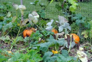 The pumpkin patch was filled with long vines, and beautiful autumn fruits, including traditional orange pumpkins for Halloween. It is still too early to harvest, but everything looks so great!