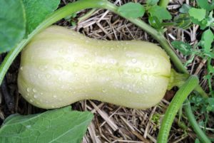 The skin should be dull and matte. Shiny skin on squash may indicate it still needs time to mature.