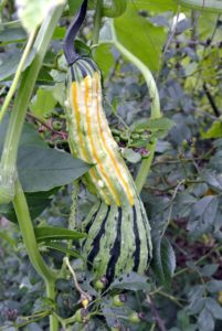 Gourds also come in unique shapes, including this one with a long neck and warts.