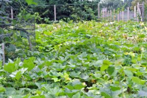 I recently visited the pumpkin patch to check on its progress. This year, our pumpkin, winter squash and ornamental gourd crops were planted adjacent to the chicken yard. This summer has been warm, and dry - perfect for pumpkins.