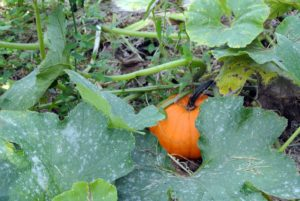 Tough skinned winter squash can last several months in storage as long as the fruits are protected from cuts, scrapes and dents, and are kept in a cool, dry room with good air circulation.