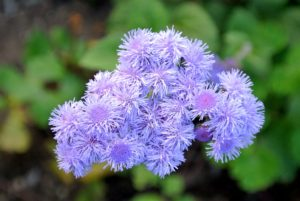 Ageratum houstonianum, a native of Mexico, is among the most commonly planted ageratum variety. Ageratums have soft, round, fluffy flowers in various shades of blue, pink or white—with blue being most common.