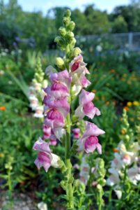 Snapdragons are known for wispy jaw-like upper and lower petals. A single stem averages 10 to 15 of these unique blooms, grouped closely together.