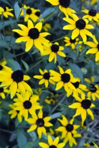 Rudbeckia's bright flowers look so beautiful planted in masses in my garden.