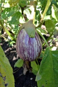 This is a 'Nubia' eggplant. This beautifully striped variegated Italian variety has a mellow and refined flavor.