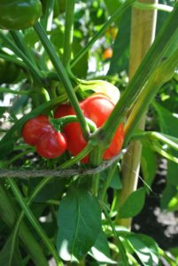 Cupid peppers are blocky to slightly pointed, and are sweet when red. Large, well-branched plants protect the fruits from sun scald.