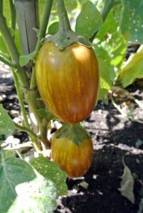The 'Udulmalpet' eggplant is an Indian variety, named after a village in the southern Indian state of Tamil Nadu. These ripen from deep purple to golden yellow, and the flesh is firm and sweet.
