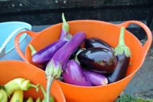 Here is a trug bucket filled with rich colored eggplants.