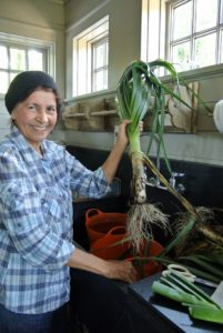 We also harvested several leeks. The edible part of the plant is a bundle of leaf sheaths that is sometimes called a stem or stalk.