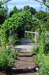 There are several tall, round arbors covered with morning glory vines, which are flourishing.