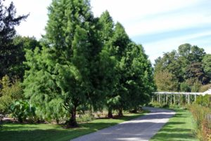 Bald cypress, or Taxodium distichum, is a deciduous conifer. It is a large tree with gray-brown to red-brown bark. It is popular as an ornamental tree because of its light, feathery foliage.