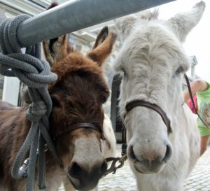 And, donkeys are happiest when with their friends, so all the donkeys are kept together where they can see each other.