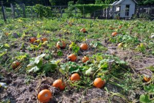 However, at the end of the growing season, when the foliage on the vines begins to wither and turn brown, all the pumpkins and squashes become quite visible.