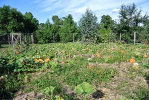 This year, we planted the pumpkin patch on the far side of the vegetable garden down by the chicken yard. This area is spacious and receives lots of full sun. The large leaves cover over most of the cucurbits as they form, so it is hard to see the beauties underneath.