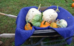 Wilmer lined the wheelbarrow with a packing blanket and carefully placed each pumpkin inside, never lifting by the stem to avoid breakage. The green oddly shaped one is called a 'Triamble', an unusual, triangular, blue-skinned fruit weighing up to 12-pounds.