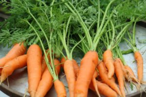 We talked about the different carrots, and what makes one variety sweeter or tastier than another.