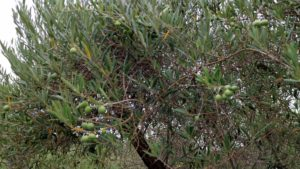 The olive trees are laden with green olives - not ready for harvest just yet.
