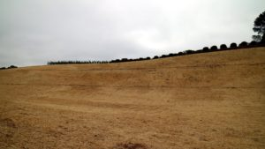 This is a field from which old vines have been removed and new vines will be planted. This replanting every so often is typical of a California vineyard. The bare earth is covered with chopped straw to prevent erosion.