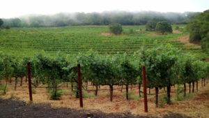 A field of mature grape producing vines is a fine sight to see. Most of the vineyard is mature and productive.
